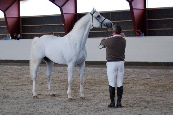 Kermos White Talisman var en av hingstene som fikk flest hopper i år. Her under en hingstevisning arrangert av Bråten Gård tidligere i år.