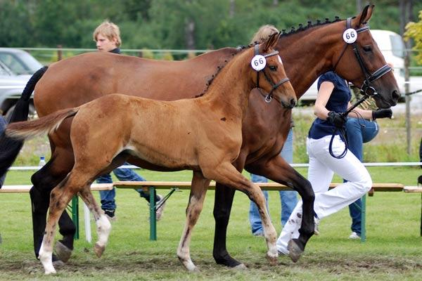 Hingsteføllet Sirius, oppdrettet av Guro Dragsjø ble nummer 2 i klassen for Louis Vuitton-føllene.