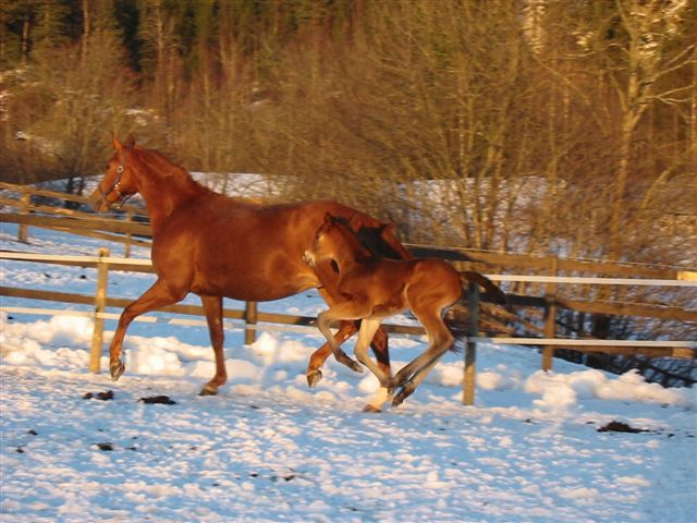 Et av de tidligst fødte føllene koser seg med mor i snøen på Bråten.