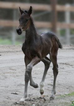 Tobajo Piri Piri (Foto: Tobajo Sporthorses)